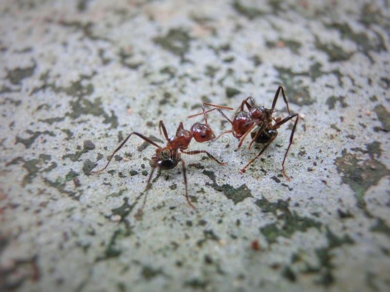 Ameisenkämpfen stockbild