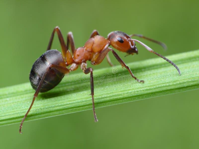 Ameisenresopal rufa auf Gras lizenzfreies stockfoto