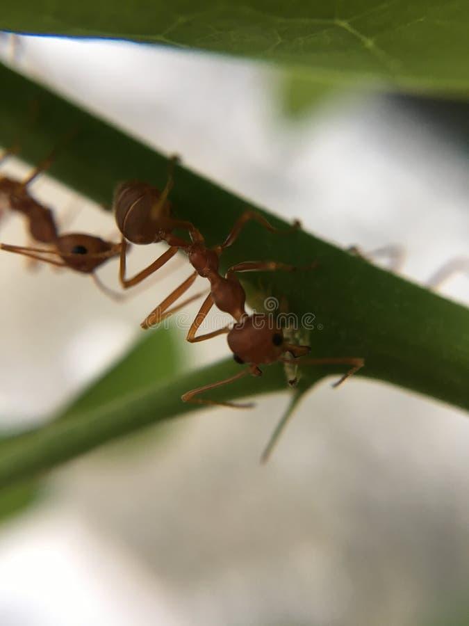 Ameisenrot stockfotografie