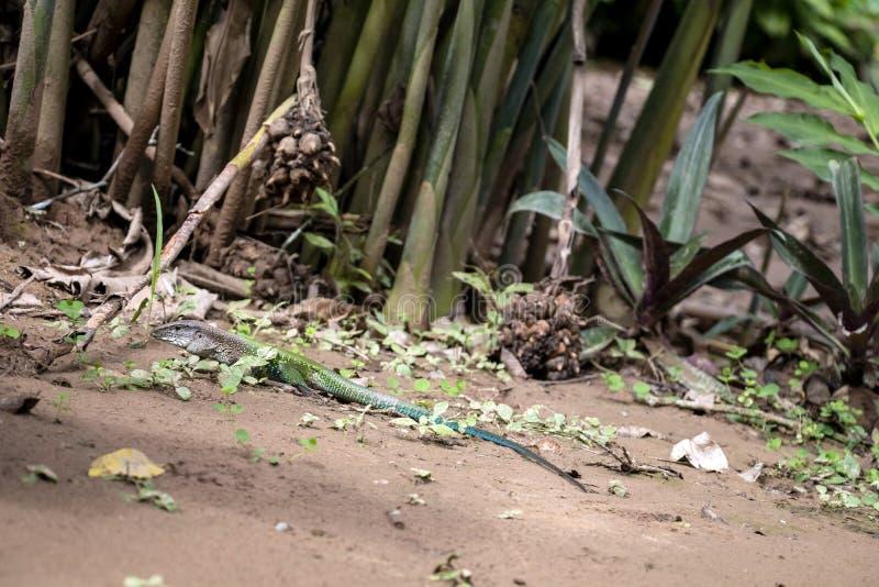 Ameiva de Ameiva, o ameiva gigante verde, lagarto à terra encontrado na central e Ámérica do Sul e algumas ilhas das Caraíbas imagem de stock