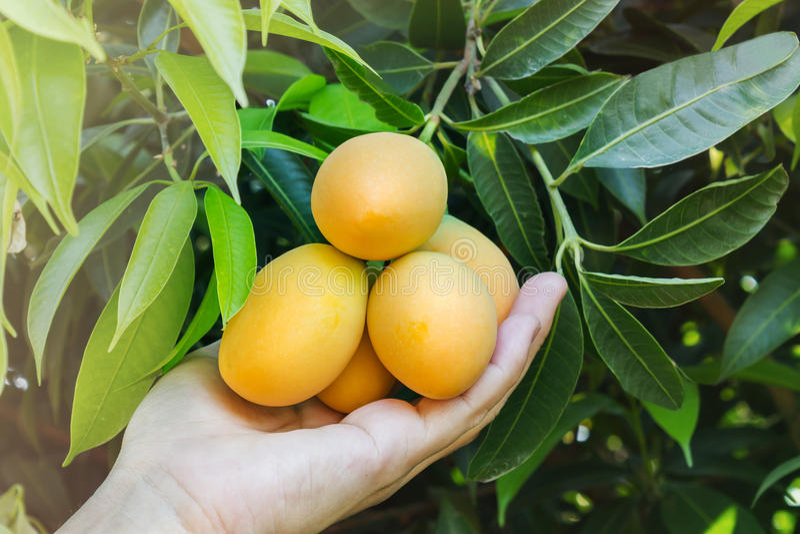A ameixa da mão e da manga frutifica sob a opinião do jardim da árvore imagem de stock