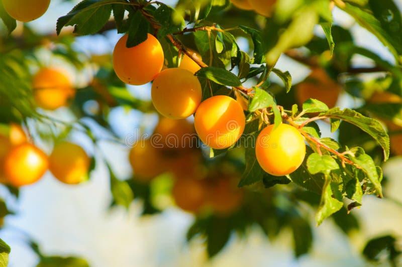 Ameixa de cereja alaranjada do fruto na luz solar imagens de stock