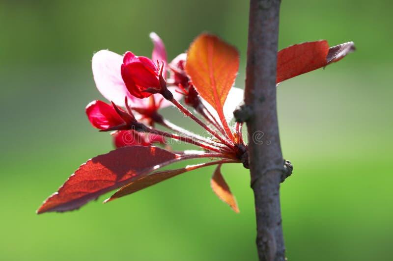Ameixa de florescência fotografia de stock