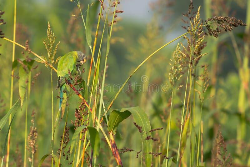 A ameixa dirigiu o pássaro do Parakeet fotografia de stock royalty free