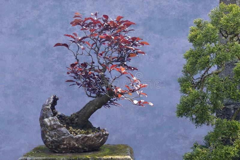 Ameixa do vermelho da árvore dos bonsais fotografia de stock royalty free