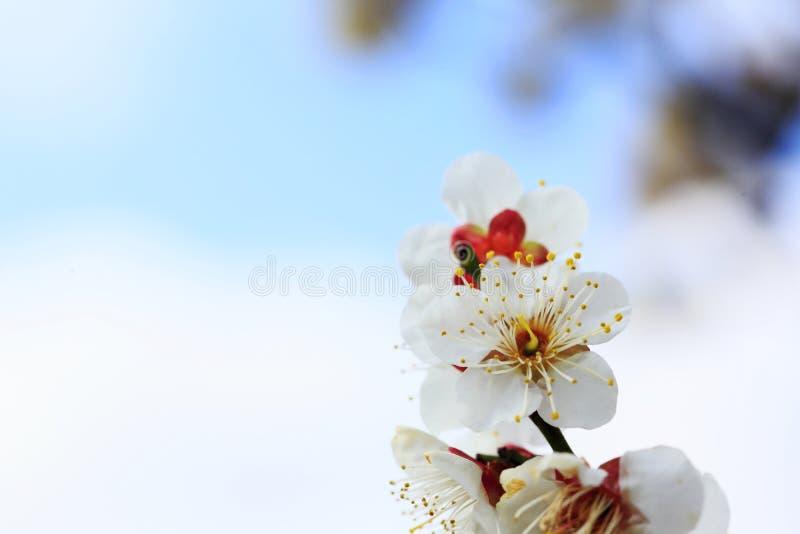 Ameixa-flor do japonês de UME fotos de stock royalty free