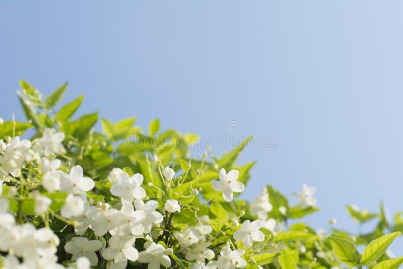 A ameixa selvagem bonita da água floresce com backgr do céu azul fotografia de stock