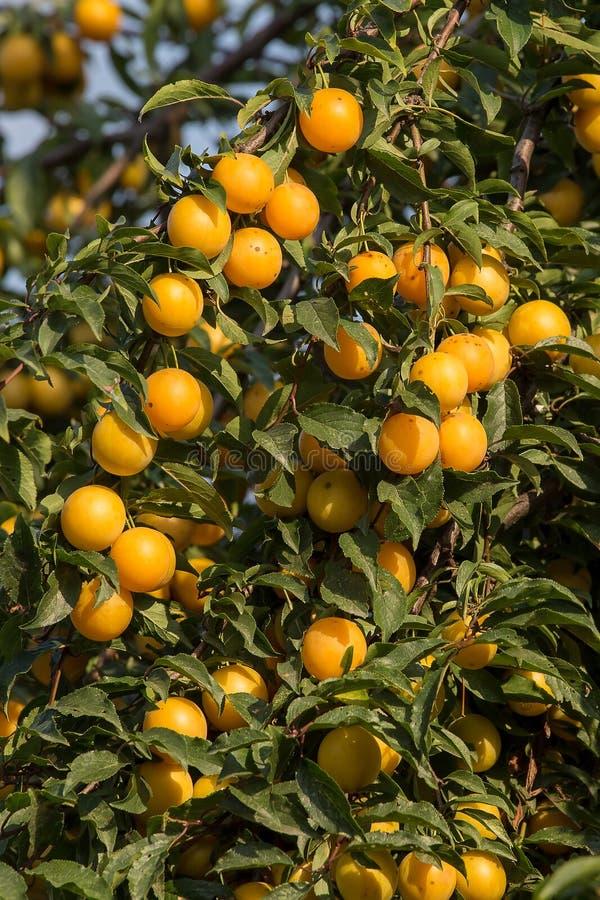 Ameixas amarelas maduras na árvore Árvore de fruto imagens de stock royalty free