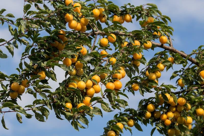 Ameixas amarelas maduras na árvore Árvore de fruto fotografia de stock