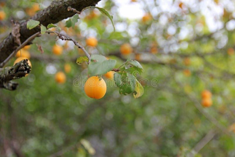 Ameixas em um branche da árvore imagens de stock royalty free
