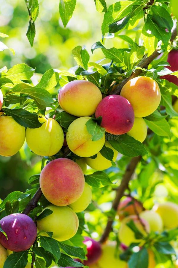 Ameixas em um ramo da árvore de ameixa fotos de stock royalty free