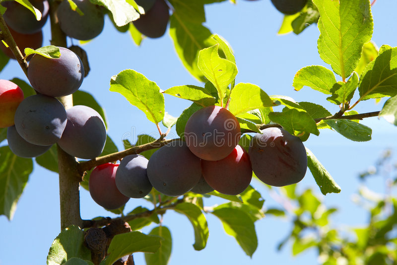 Ameixas em uma árvore imagem de stock