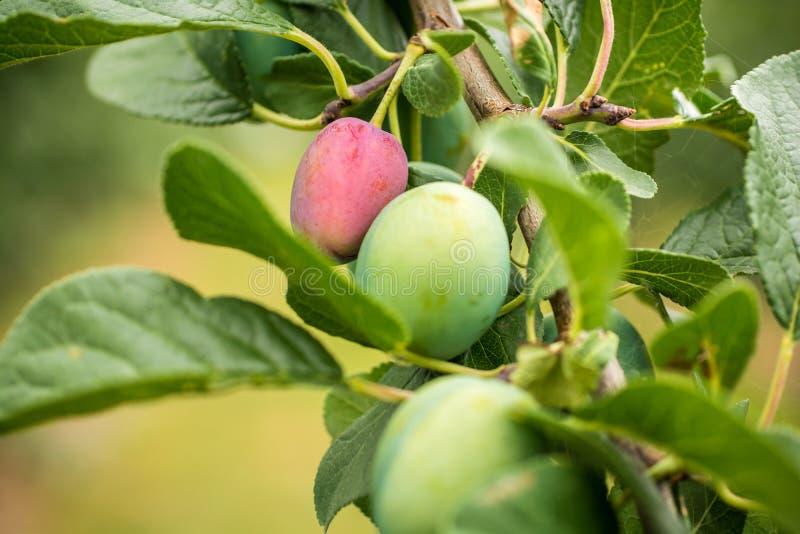 Ameixas em uma árvore de ameixa com fases diferentes da madureza do fruto imagens de stock royalty free
