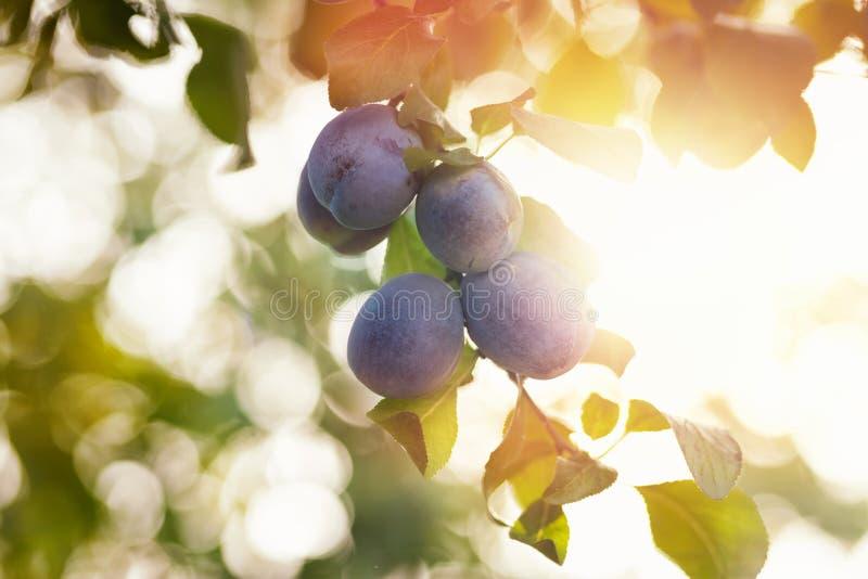 Ameixas no ramo no jardim fotografia de stock