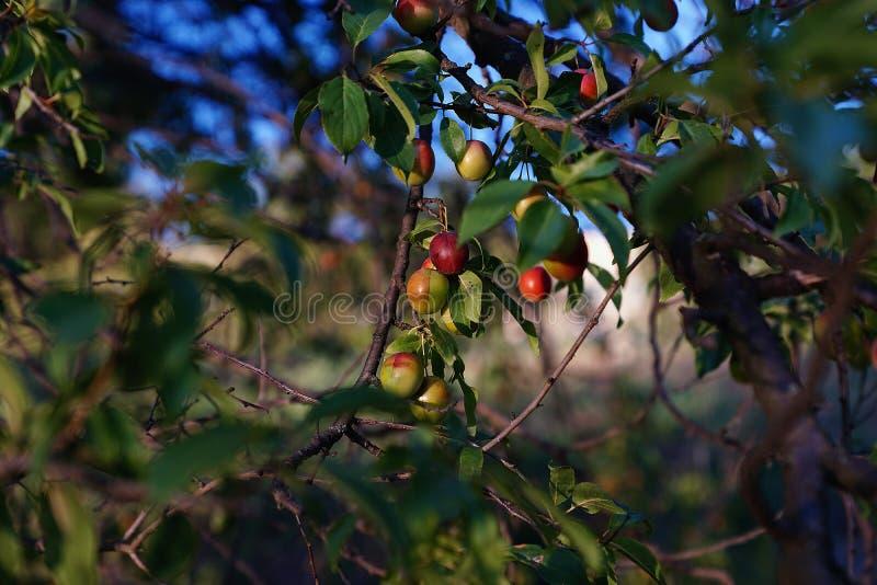 Ameixas vermelhas pequenas imagens de stock