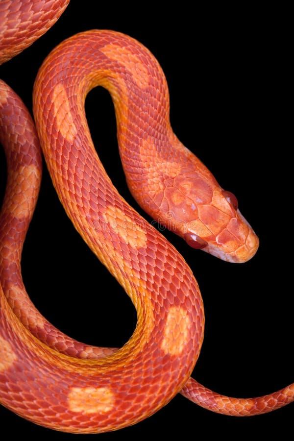 Amel motley corn snake stock photo