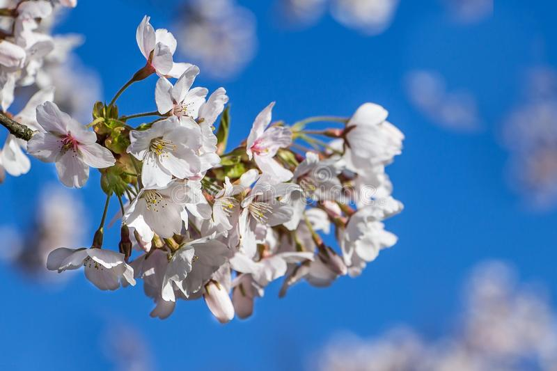 Amelanchier tree. Blossom of a amelanchier tree in spring in front of a blue sky stock images