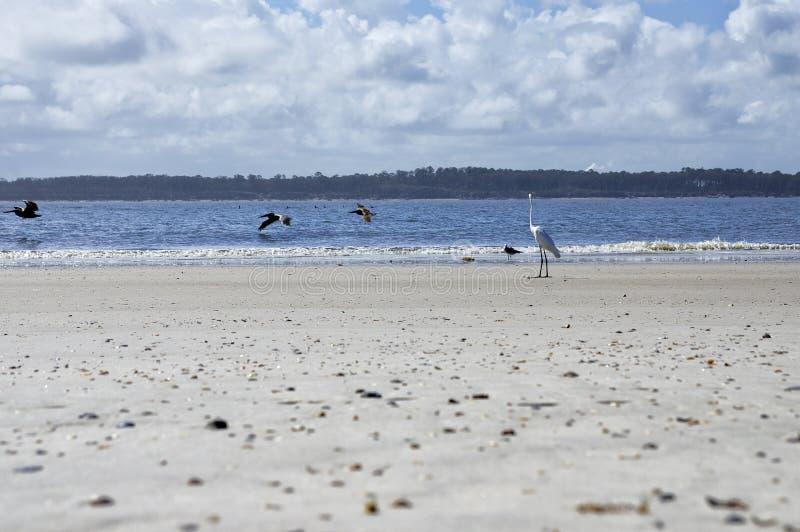Fernandina Beach is occupied by wild birds, Florida, USA. The Amelia Island Florida, Fernandina Beach is occupied by wild birds, Florida, USA royalty free stock photography