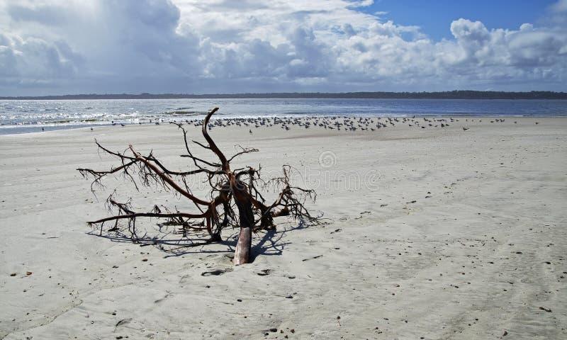 Fernandina Beach is occupied by wild birds, Florida, USA. The Amelia Island Florida, Fernandina Beach is occupied by wild birds, Florida, USA royalty free stock photo