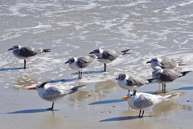 Amelia Island, Florida, USA: Laughing gulls and royal terns royalty free stock photography