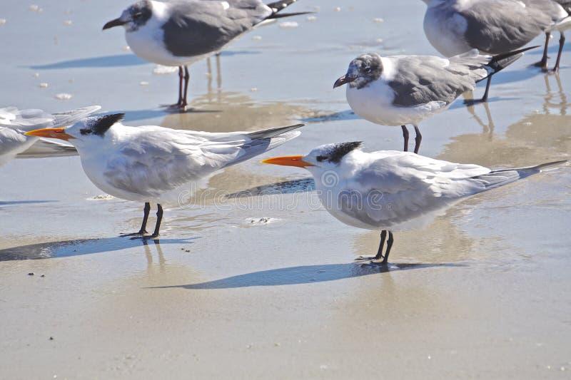 Amelia Island, Florida, USA: Laughing gulls and royal terns royalty free stock photo