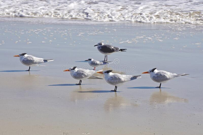 Amelia Island, Florida, USA: Laughing gulls and royal terns royalty free stock images