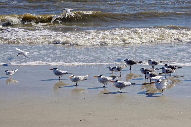 Amelia Island, Florida, USA: Laughing gulls and royal terns stock image