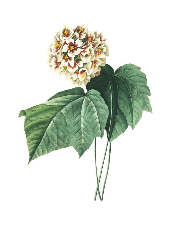 Ameliae de Dombeya   Ilustrações antigas da flor ilustração royalty free