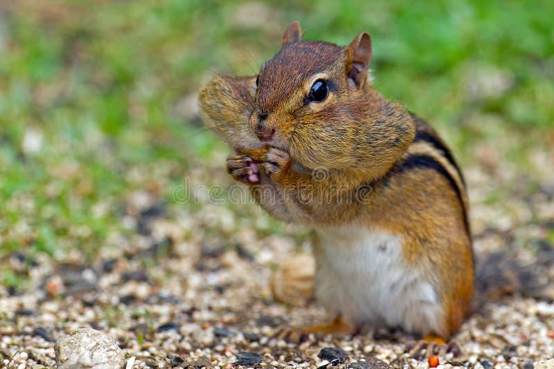 Amendoim de Earing do Chipmunk fotografia de stock royalty free