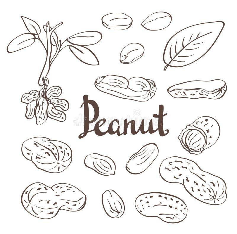 Amendoins, núcleos e folhas ilustração stock