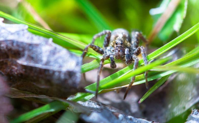 Amentata Pardosa паука волка в Англии стоковые фото