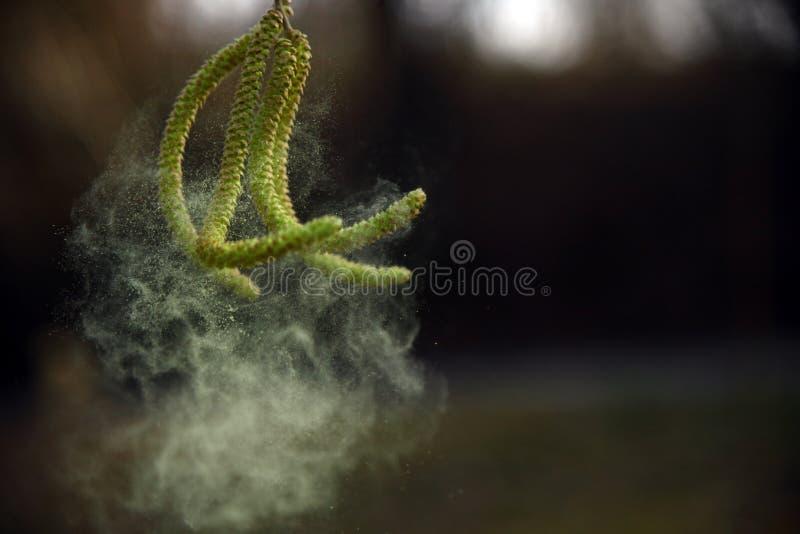 Amentilhos côr de avelã e dança do pólen no vento imagens de stock