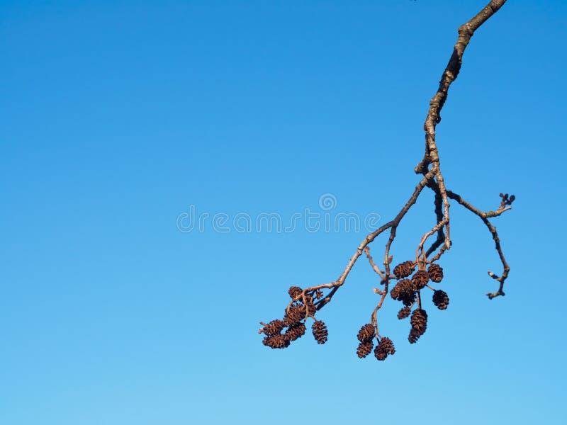 Amentilhos secados na árvore de amieiro foto de stock royalty free