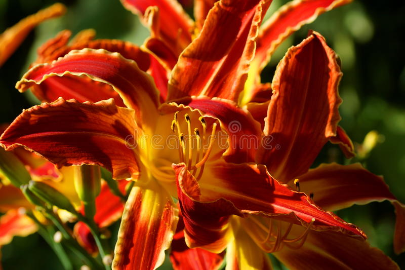 America. Red flowers daylily. America. Beautiful red flowers daylily. Red petals with wavy yellow border. Throat yellow stock image