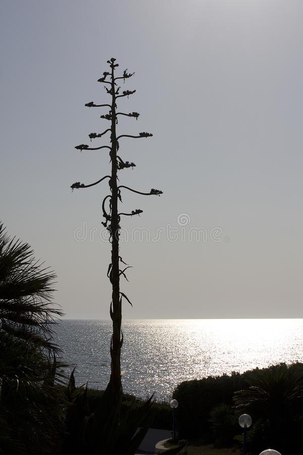 American Agave Royalty Free Stock Image