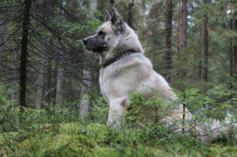 The American Akita or great Japanese dog the American Akita or big Japanese dog is a devoted friend and companion stock images