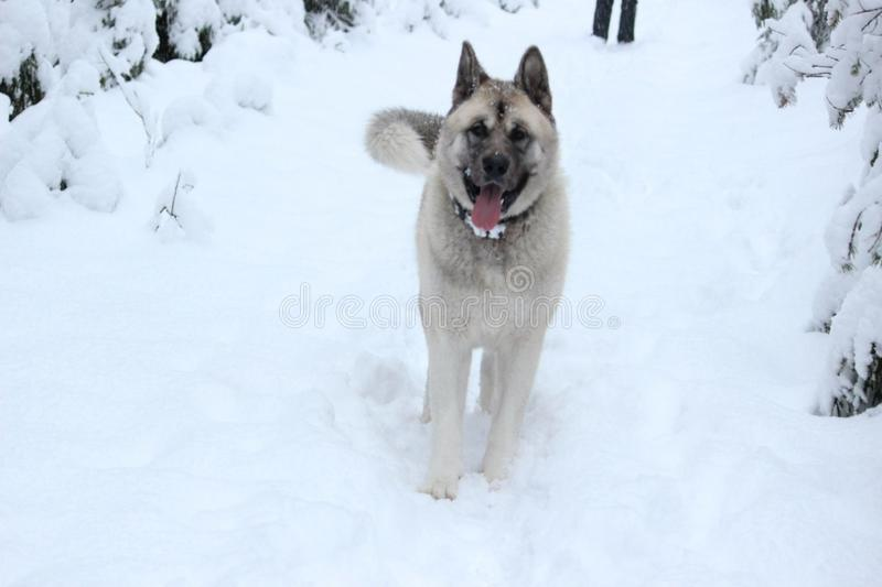 The American Akita or great Japanese dog the American Akita or big Japanese dog is a devoted friend and companion stock photo