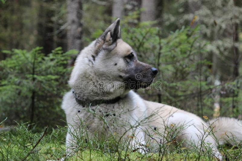 The American Akita or great Japanese dog the American Akita or big Japanese dog is a devoted friend and companion royalty free stock images