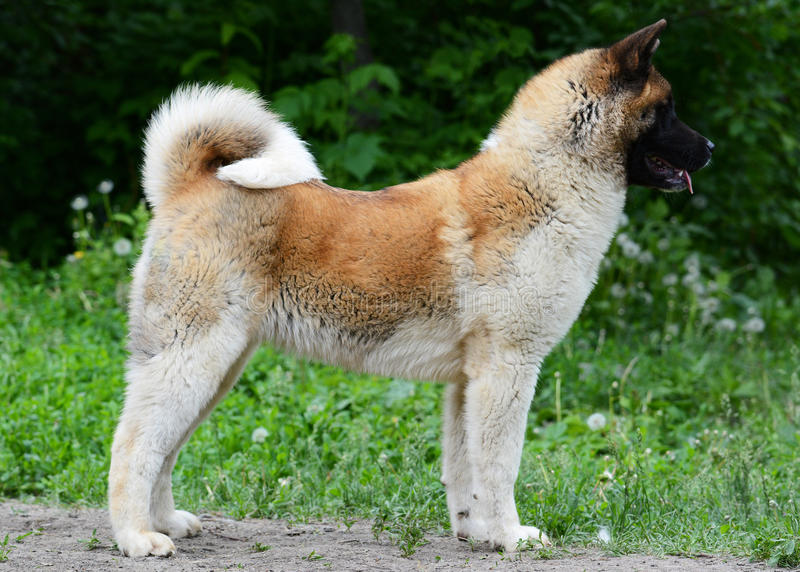 American akita stand royalty free stock images