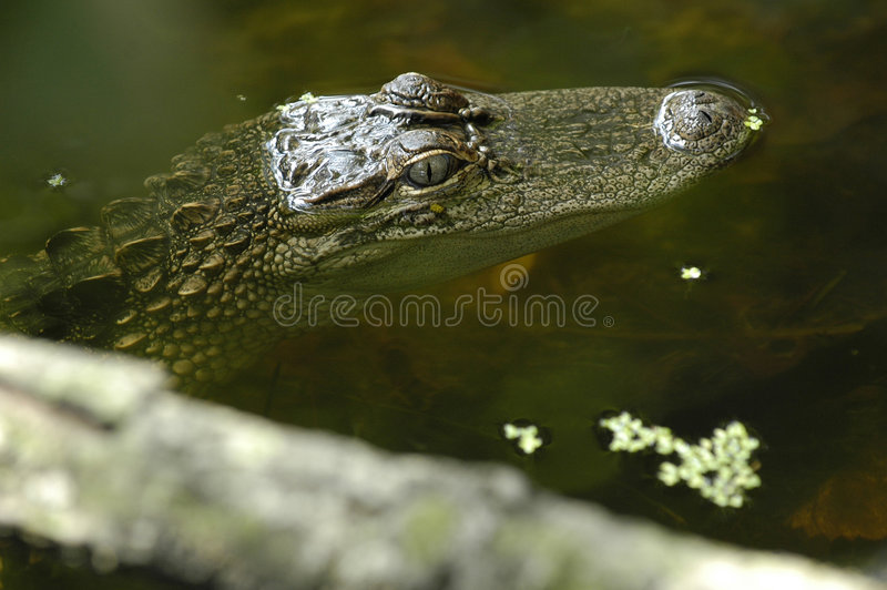 American Aligator stock images