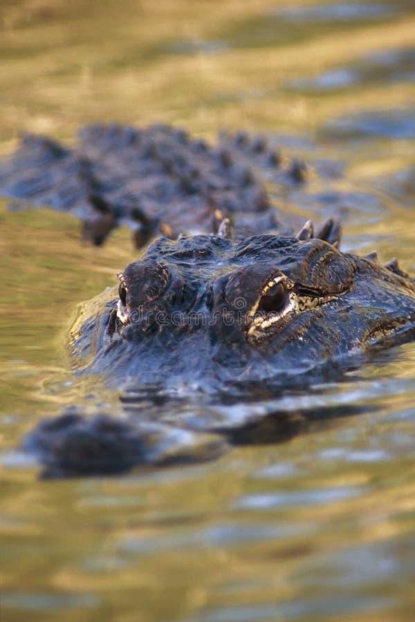 Free American Alligator Royalty Free Stock Photo - 1128675