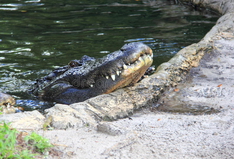 American Alligator royalty free stock photo