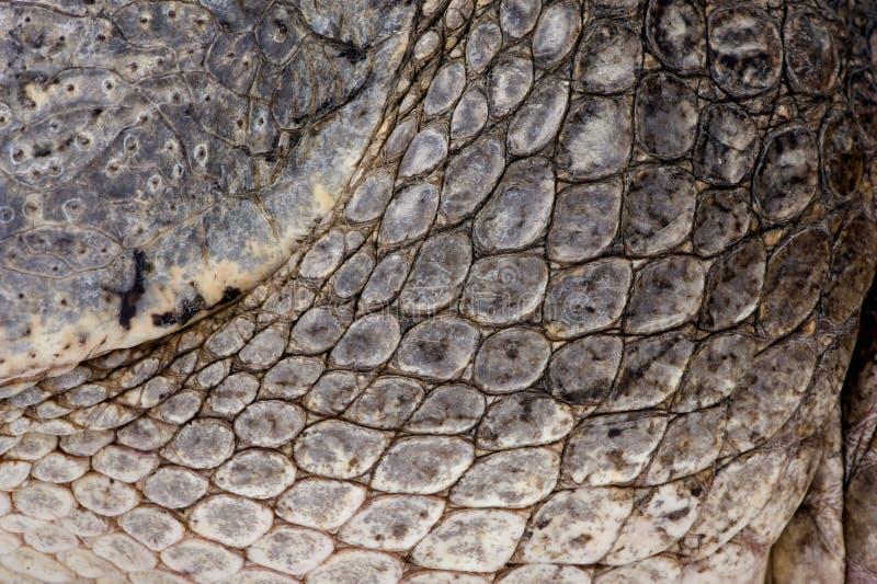 Download American Alligator (30 Years) Stock Photo - Image: 7135712
