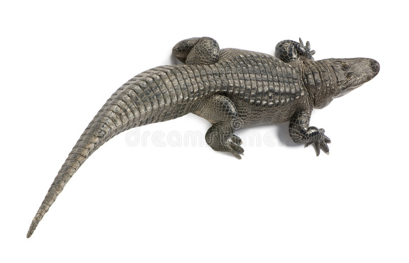 American Alligator (30 years) stock photography