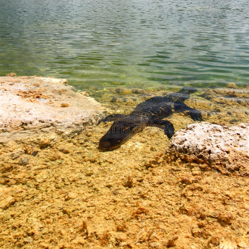 Download American Alligator (Alligator Mississippiensis) Stock Photo - Image: 21422528