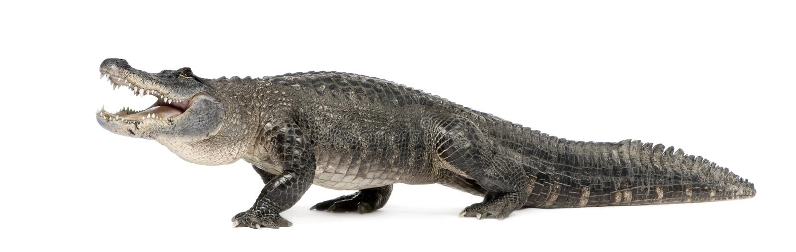 American Alligator - Alligator mississippiensis. American Alligator (30 years) - Alligator mississippiensis in front of a white background royalty free stock images