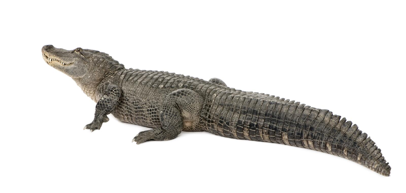 American Alligator - Alligator mississippiensis. American Alligator (30 years) - Alligator mississippiensis in front of a white background royalty free stock photos