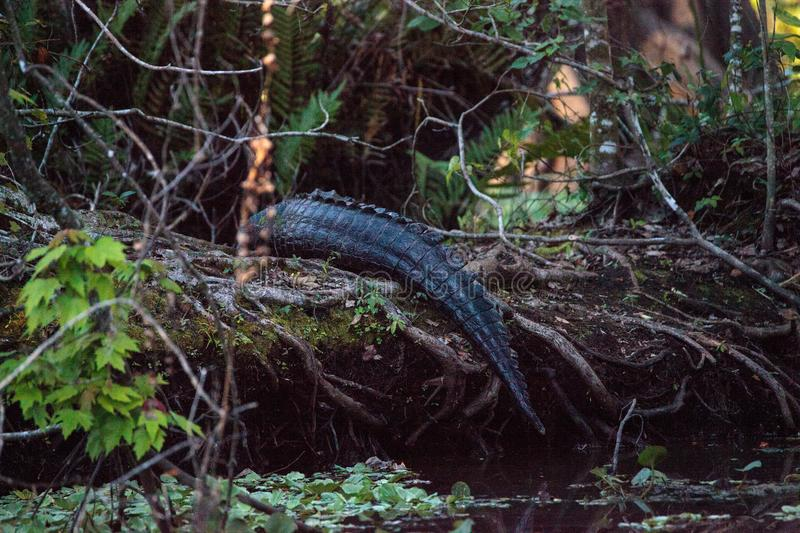American alligator Alligator mississippiensis suns itself. On a fallen pond cypress tree in the Corkscrew Swamp Sanctuary in Naples, Florida stock photography