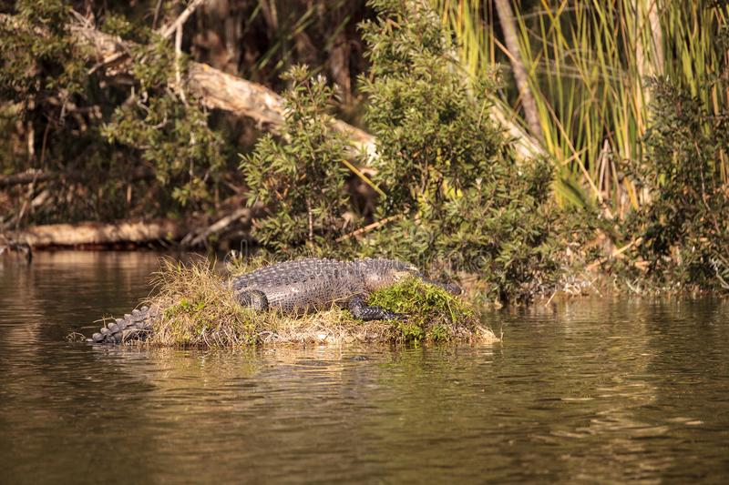 American alligator Alligator mississippiensis suns itself on a s. Mall island in a swamp at Lakes Park in Fort Myers, Florida stock photos