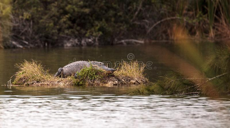 American alligator Alligator mississippiensis suns itself on a s. Mall island in a swamp at Lakes Park in Fort Myers, Florida royalty free stock photo